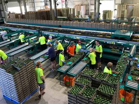 People working in avocado factory