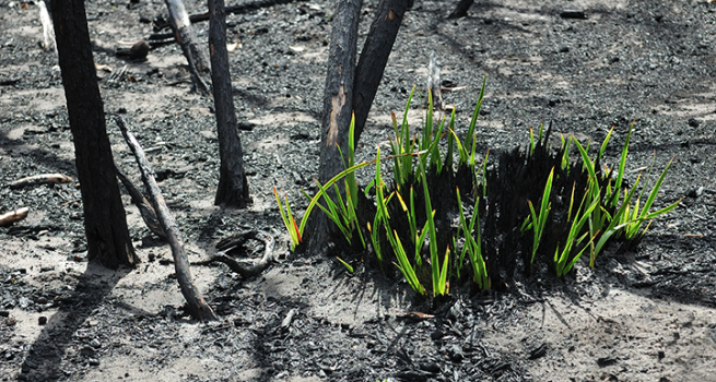 New grass shoots appear in on burnt ground after a bushfire