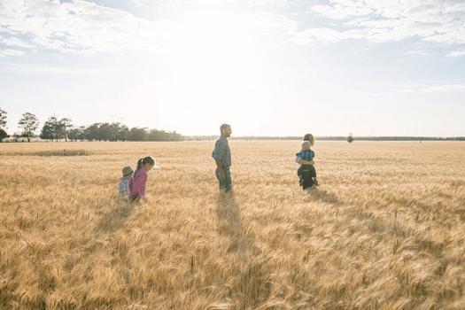 Family of four walk through golden wheat field